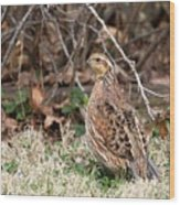 Northern Bobwhite Quail Wood Print