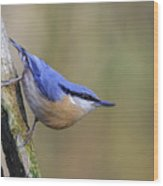 Nuthatch -- Wood Print