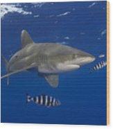 Oceanic Whitetip Shark Wood Print