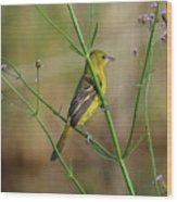 Orchard Oriole Wood Print