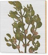 Pacific Mistletoe Wood Print