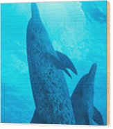 Pair Of Spotted Dolphins Wood Print