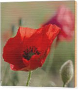 Poppies In Field In Spring Wood Print