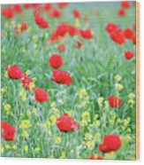 Poppy Flowers Meadow Spring Season Wood Print