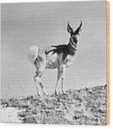 Prong-horn Antelope Wood Print