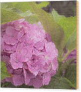 Purple Hydrangea At Rainy Garden In June, Japan Wood Print