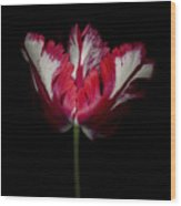 Red And White Parrot Tulip Wood Print