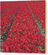 Red Tulip Fields Wood Print