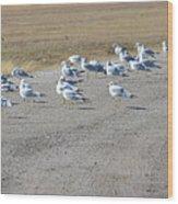 Ring Billed Gulls  Wood Print