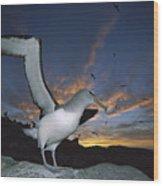 Salvins Albatross At Sunset Wood Print