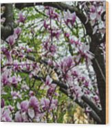 Saucer Magnolias In Central Park Wood Print