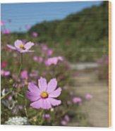 Sensation Cosmos Bipinnatus Fully Bloomed Colorful Cosmos On M Wood Print