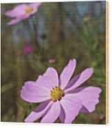 Sensation Cosmos Bipinnatus Fully Bloomed Pink Cosmos At Garde Wood Print