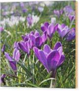 Spring Crocuses Wood Print