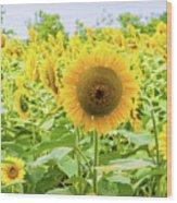 Sunflowers Field Wood Print