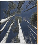 Towering Aspens Wood Print