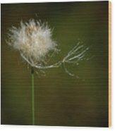 Tussock Cottongrass Wood Print