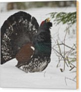 Western Capercaillie Wood Print