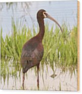 White Faced Ibis Wood Print