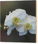 White Orchid - Doritaenopsis Orchid Wood Print