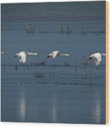 Whooper Swans In Flight Wood Print
