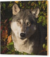 Wolf Portrait Wood Print