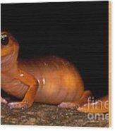 Yellow-eye Ensatina Salamander Wood Print