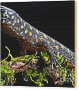 Yellow Spotted Tropical Night Lizard Wood Print