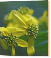 Yellow Wingstem Wood Print