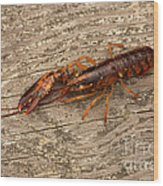 Young Lobster Wood Print