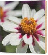 Zinnia Named Zahara Starlight Rose Wood Print
