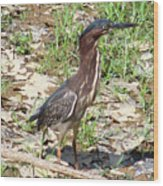 2014-baby Green Heron Wood Print