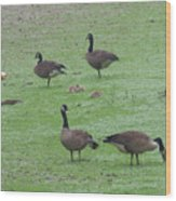 2016-canadian Geese And Babies Wood Print