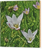 2016 Early May Meadow Garden Lady Jane Tulip Wood Print
