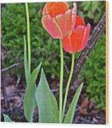 2016 Early May Tall Red Tulips Wood Print