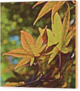 2016 Japanese Maple In The Sunlight Wood Print