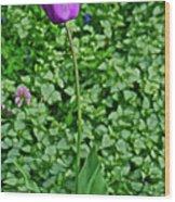2016 Mid May  Exotic Purple Tulip Wood Print