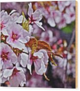 2017 Earthday Olbrich Gardens Fuji Cherry 1 Wood Print
