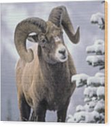 25084, Bighorn Sheep, Winter, Jasper Wood Print