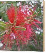 Australia - Red Flower Of The Callistemon Wood Print