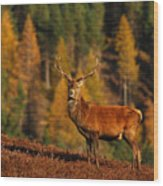 Red Deer Stag Wood Print