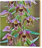 Helleborine On North Country Trail In Pictured Rocks National Lakeshore-michigan  Wood Print