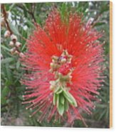 Australia - Callistemon Red Flower Wood Print