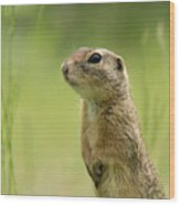 A European Ground Squirrel Standing In A Meadow In Spring Wood Print