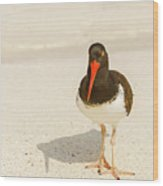 American Oystercatcher, Haematopus Palliatus,  Looking For Food  Wood Print