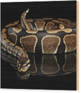 Ball Or Royal Python Snake On Isolated Black Background Wood Print