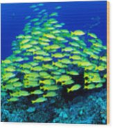 Bluestripe Snapper Wood Print
