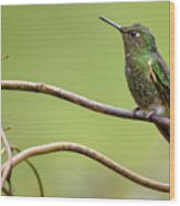 Buff Tailed Coronet Rio Blanco Manizales Colombia Wood Print