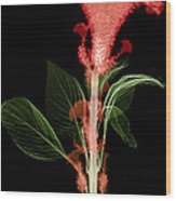 Cockscombs Flower, X-ray Wood Print