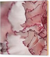 Creamy White With Red Picotee Carnation Wood Print